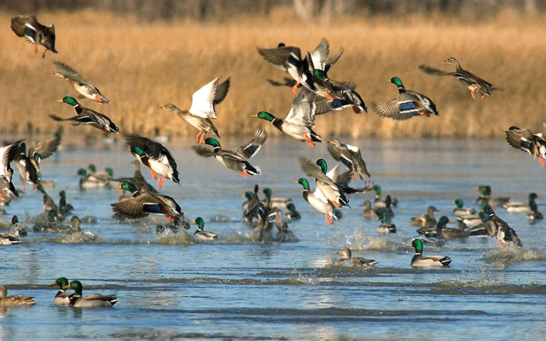 Effective Guidelines For Hunting Waterfowl Successfully